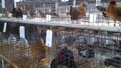 Chickens.Fair%5B1%5D.Good